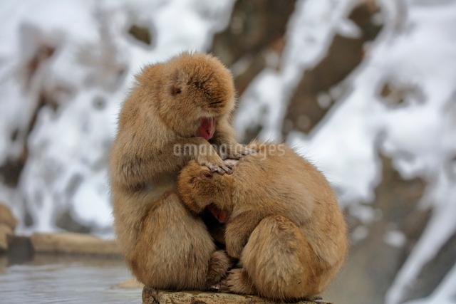 毛づくろいをするニホンザルの写真素材 [FYI04074209]