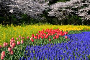 花畑と桜の写真素材 [FYI04074212]