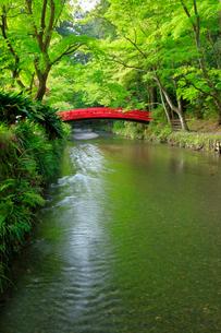新緑の小国神社 太鼓橋の写真素材 [FYI04074220]