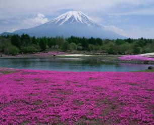富士山と芝桜の写真素材 [FYI04074327]