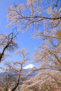 富士山と桜の写真素材 [FYI04074380]