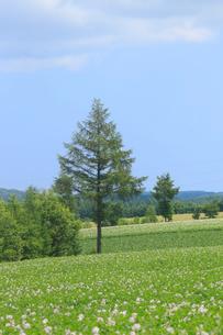 ジャガイモ畑の写真素材 [FYI04074384]