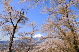 富士山と桜の写真素材 [FYI04074386]