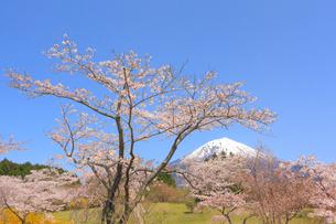 富士山と桜の写真素材 [FYI04074387]