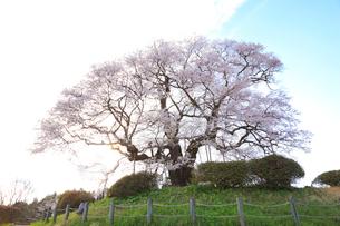 醍醐桜の写真素材 [FYI04074413]
