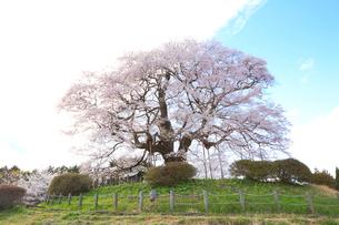 醍醐桜の写真素材 [FYI04074414]