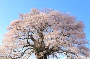 醍醐桜の写真素材 [FYI04074425]