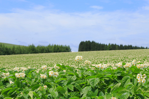 ジャガイモ畑の写真素材 [FYI04074442]