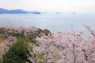 赤穂東御崎公園の桜の写真素材 [FYI04074443]