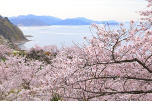 赤穂東御崎公園の桜の写真素材 [FYI04074445]