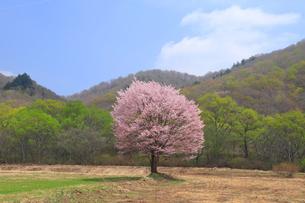 桧原の一本桜の写真素材 [FYI04074484]