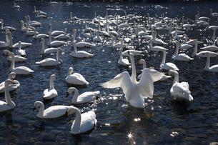 五十嵐川のハクチョウの群れの写真素材 [FYI04074571]