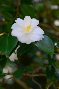 加茂山公園咲くユキツバキの写真素材 [FYI04074605]