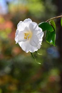 加茂山公園咲くユキツバキの写真素材 [FYI04074606]