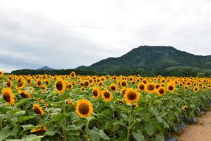 ひまわりの咲く山の風景の写真素材 [FYI04074618]