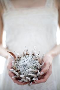 手のひらに花を乗せる女性の写真素材 [FYI04076634]
