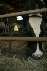牛舎で餌を食べるホルスタインの写真素材 [FYI04076803]