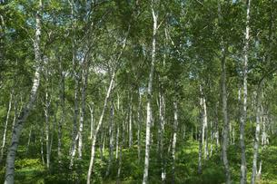 八千穂高原の白樺林群の写真素材 [FYI04076911]