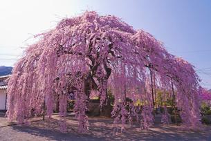 臨済宗妙心寺派天真山周林禅寺の樹齢約120年の雪洞桜の写真素材 [FYI04077033]