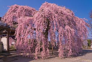 臨済宗妙心寺派天真山周林禅寺の樹齢約120年の雪洞桜の写真素材 [FYI04077035]