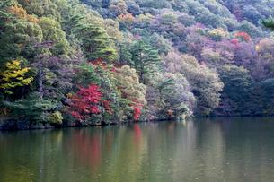 鳥取大山大野池紅葉の写真素材 [FYI04077044]