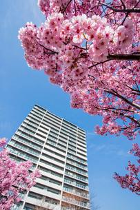 コウヨウザクラと高層住宅の写真素材 [FYI04077132]