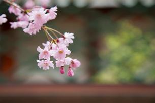 春の御香宮神社 紅しだれ桜の写真素材 [FYI04077185]