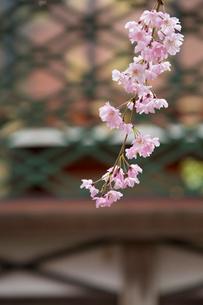 春の御香宮神社 紅しだれ桜の写真素材 [FYI04077186]