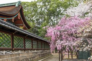 春の御香宮神社 紅しだれ桜の写真素材 [FYI04077187]