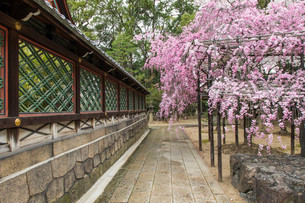 春の御香宮神社 紅しだれ桜の写真素材 [FYI04077193]