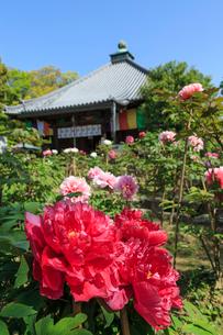 ボタン咲く乙訓寺の写真素材 [FYI04077243]