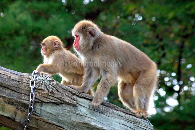 悠久山小動物園 ニホンザルの写真素材 [FYI04077432]