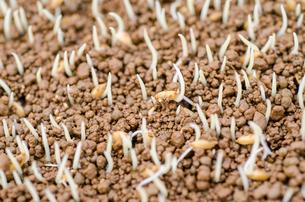稲の発芽の写真素材 [FYI04077519]