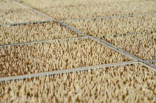 稲の発芽の写真素材 [FYI04077523]