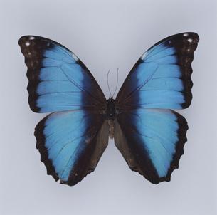 蝶(ディダミアモルフォ) ブラジルの写真素材 [FYI04077614]