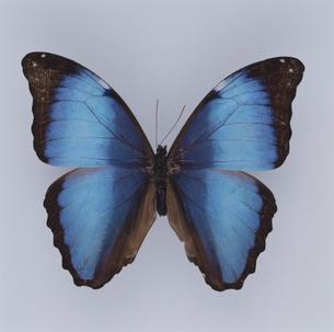蝶(ディダミアモルフォ) ブラジルの写真素材 [FYI04077616]