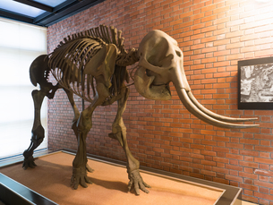 ナウマン象の復元骨格の写真素材 [FYI04078268]