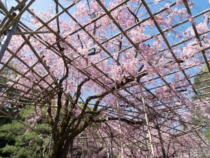 京都 平安神宮の桜 南神苑の写真素材 [FYI04078456]