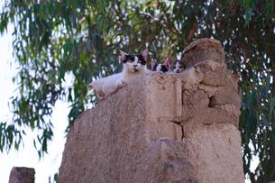 サハラ砂漠の猫の親子の写真素材 [FYI04078507]