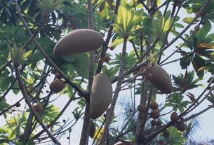 木に成るマメイの写真素材 [FYI04078580]