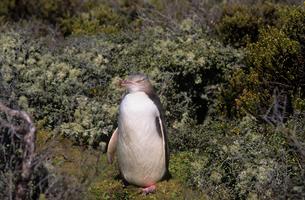 キガシラペンギン  オークランド島の写真素材 [FYI04078593]