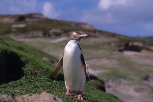 キガシラペンギン  オークランド島の写真素材 [FYI04078595]