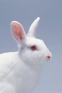 ウサギ(ジャパニーズホワイト)の写真素材 [FYI04078860]