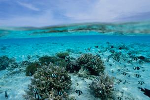 サンゴとミスジスズメダイの半水面の写真素材 [FYI04078863]