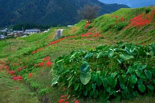 里芋畑とヒガンバナ咲く山村の写真素材 [FYI04078953]