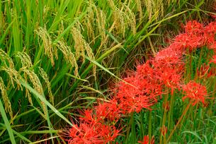 彼岸花と稲の写真素材 [FYI04079118]