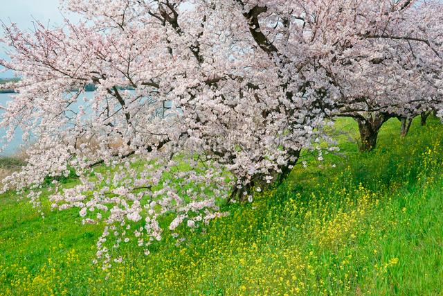 木曽長良背割堤の桜並木の写真素材 [FYI04079243]