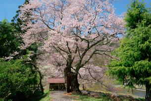 上郷のエドヒガン桜の写真素材 [FYI04079246]