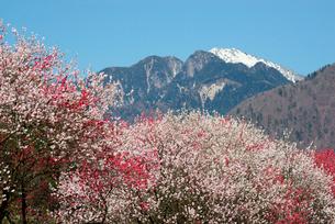 和村地区のハナモモ並木,木曽駒ヶ岳を望むの写真素材 [FYI04079248]