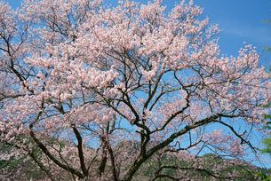 上郷のエドヒガン桜の写真素材 [FYI04079255]